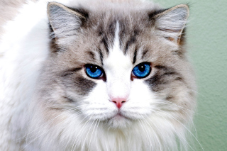 Free Persian Cat Picture for Android, iPhone and iPad