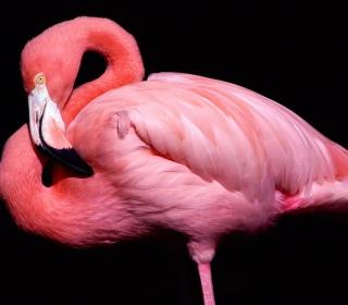 Pink Flamingo Posing - Obrázkek zdarma pro 128x128