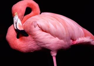 Pink Flamingo Posing - Obrázkek zdarma pro Fullscreen Desktop 1280x960