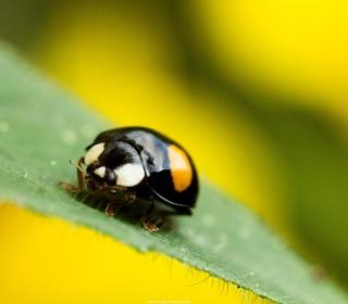Yellow Ladybug On Green Leaf - Obrázkek zdarma pro 208x208