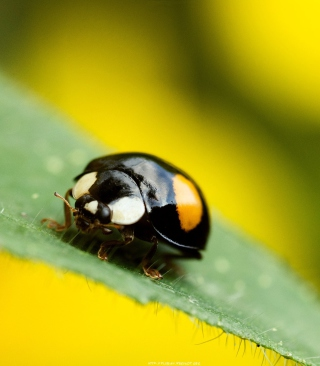 Yellow Ladybug On Green Leaf - Obrázkek zdarma pro Nokia C1-02