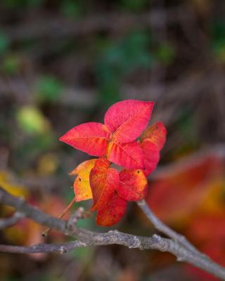 Macro Autumn Leaf - Obrázkek zdarma pro iPhone 3G