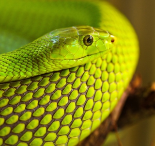 Green Snake Macro - Obrázkek zdarma pro iPad
