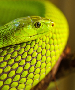 Green Snake Macro - Obrázkek zdarma pro Nokia Lumia 2520