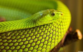 Green Snake Macro - Obrázkek zdarma pro 1440x1280