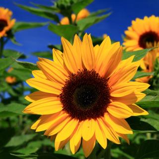 Sunflower close-up - Obrázkek zdarma pro iPad Air