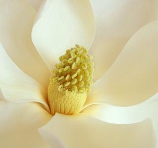 Magnolia Blossom - Obrázkek zdarma pro iPad 3