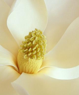 Magnolia Blossom - Obrázkek zdarma pro Nokia C1-02