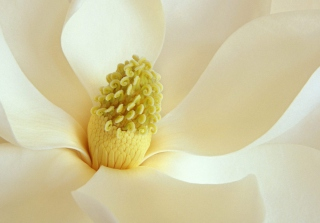 Magnolia Blossom Picture for Android, iPhone and iPad