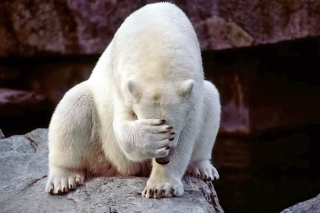 Facepalm Bear Wallpaper for Android, iPhone and iPad