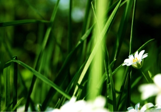 Grass And White Flowers Wallpaper for Android, iPhone and iPad