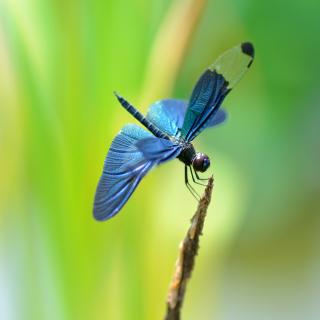 Blue dragonfly - Obrázkek zdarma pro 320x320