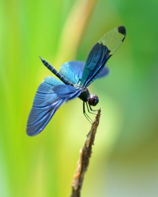 Blue dragonfly - Obrázkek zdarma pro 768x1280