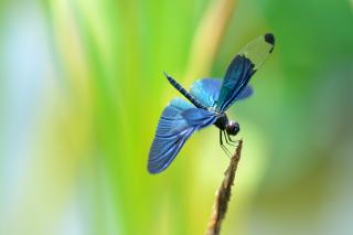 Blue dragonfly - Obrázkek zdarma pro Widescreen Desktop PC 1600x900