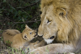 Lion With Baby Background for Android, iPhone and iPad