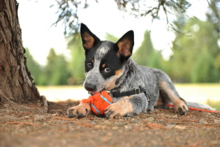 Puppy And Tennis Ball Background for Android, iPhone and iPad