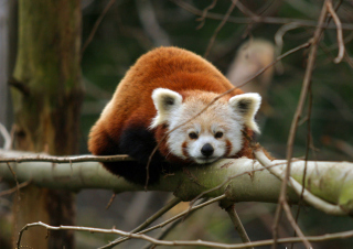 Cute Red Panda Background for Android, iPhone and iPad