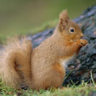 Squirrel - Obrázkek zdarma pro 320x320