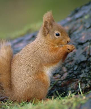 Squirrel - Obrázkek zdarma pro 320x480