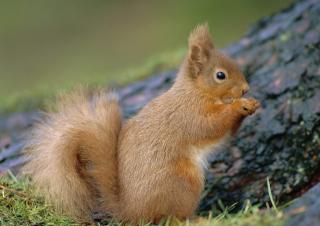 Squirrel - Obrázkek zdarma pro Desktop Netbook 1366x768 HD