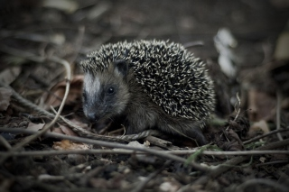Forest Hedgehog Picture for Android, iPhone and iPad