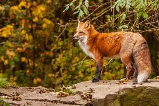 Free Red Fox Picture for Android, iPhone and iPad