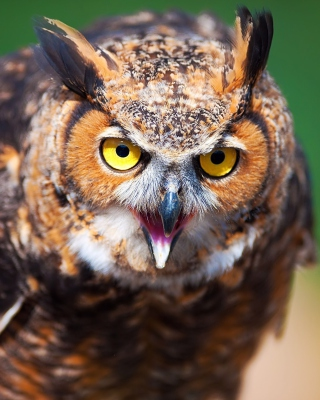 Owl - Obrázkek zdarma pro Nokia Asha 303
