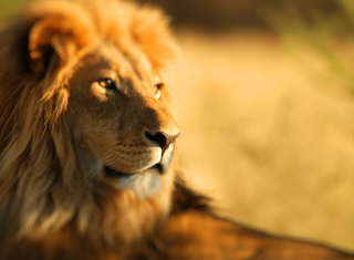 King Lion Picture for Android, iPhone and iPad