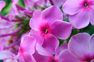 Free Phlox pink flowers Picture for Android, iPhone and iPad