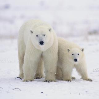 Polar Bears in Canada - Obrázkek zdarma pro 2048x2048