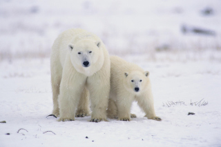 Polar Bears in Canada Picture for Android, iPhone and iPad