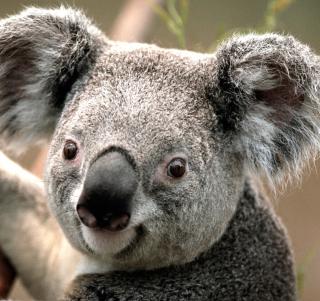 Koala - Obrázkek zdarma pro 208x208