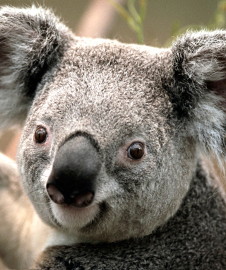 Koala - Obrázkek zdarma pro 360x480