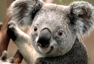 Koala - Obrázkek zdarma pro Motorola DROID