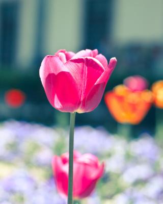Glade tulips - Obrázkek zdarma pro iPhone 6