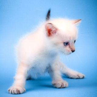 Small Kitten - Obrázkek zdarma pro 1024x1024