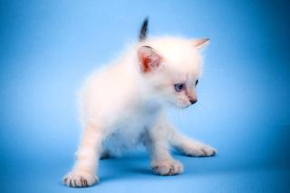 Small Kitten - Obrázkek zdarma pro Desktop 1280x720 HDTV
