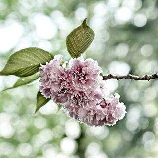 Spring of CherryBlossoms - Obrázkek zdarma pro 208x208