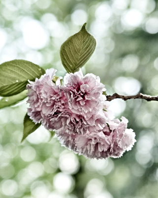 Spring of CherryBlossoms - Obrázkek zdarma pro Nokia Asha 501