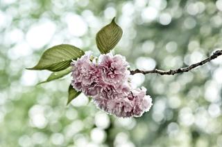 Spring of CherryBlossoms - Obrázkek zdarma pro Samsung Galaxy Tab 3 8.0