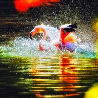 Flamingo Splash - Obrázkek zdarma pro iPad 3
