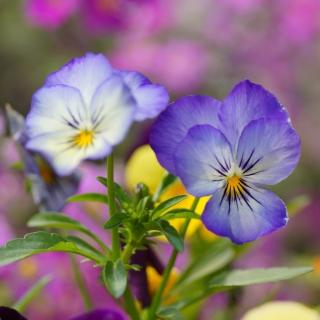 Wild Flowers Viola tricolor or Pansies - Obrázkek zdarma pro iPad