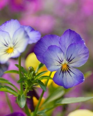 Wild Flowers Viola tricolor or Pansies - Obrázkek zdarma pro 352x416