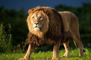 King Of Jungle Picture for Android, iPhone and iPad