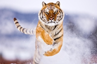 Amur Tiger Picture for Android, iPhone and iPad
