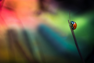 Ladybug Wallpaper for Android, iPhone and iPad
