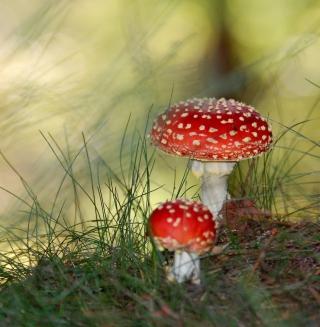 Red Mushrooms - Obrázkek zdarma pro 320x320