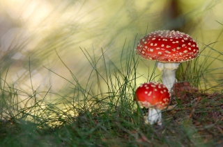 Red Mushrooms - Obrázkek zdarma pro Fullscreen Desktop 1024x768