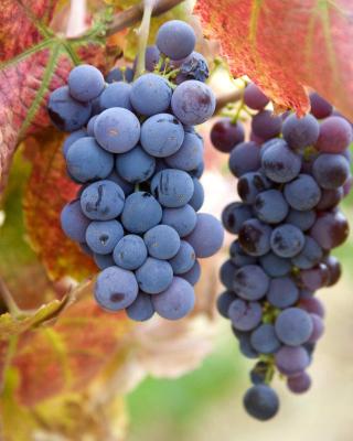 Grapes - Obrázkek zdarma pro Nokia C6