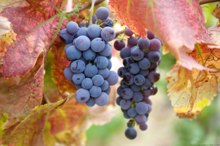 Grapes Wallpaper for Android, iPhone and iPad